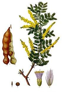 Acacia senegal - Köhler–s Medizinal-Pflanzen-004.jpg