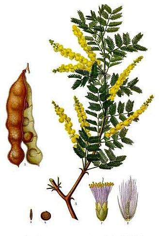 Gum arabic - Acacia senegal, pictured in a medicinal handbook: Franz Eugen Köhler, Köhler's Medizinal-Pflanzen (1887)
