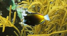 Acanthurus japonicus - Zoo Frankfurt.jpg