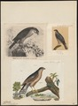 Accipiter nisus - 1700-1880 - Print - Iconographia Zoologica - Special Collections University of Amsterdam - UBA01 IZ18300071.tif