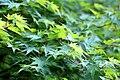 Acer palmatum Satsuki beni.jpg