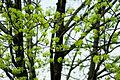 Acer platanoides - flowers 02.jpg