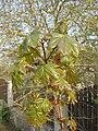 Acer platanoides BG.jpg