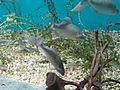 Acheilognathus rhombeus in Aqua Toto Gifu.jpg