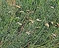 Achillea crithmifolia Prague 2013 1.jpg