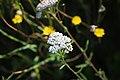 Achillea millefolium (36708694521).jpg