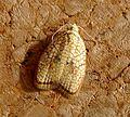 Acleris forsskaleana. Tortricidae - Flickr - gailhampshire (1).jpg