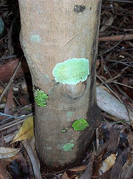 Acronychia pubescens Coffs Harbour.jpg
