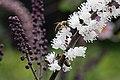 Actaea simplex JRVdH 05.jpg