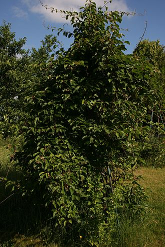Actinidia arguta - Cultivated vine trained on a trellis