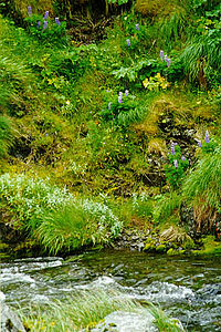 Adak Island, Lupines at Finger Bay Creek.jpg