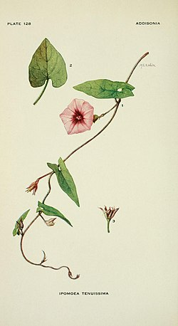 Addisonia - colored illustrations and popular descriptions of plants (1916-(1964)) (16585367740).jpg