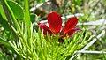 Adonis aestivalis inflorescence (09).jpg