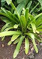 Aechmea blanchetiana kz1.JPG