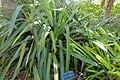 Aechmea sphaerocephala - Marie Selby Botanical Gardens - Sarasota, Florida - DSC01351.jpg