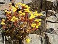 Aeonium sedifolium Tenerife.jpg