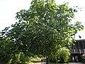 Aesculus x Carnea 'brioti' tree.jpg