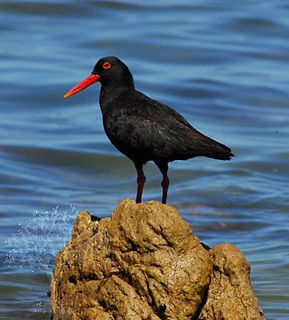 African oystercatcher A large near-threatened wading species of bird redident on the shores of South Africa