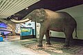 African elephant, Senckenberg, 2017-10-12.jpg