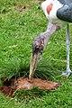 Afrikaanse maraboe (28371588222).jpg