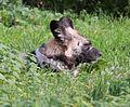 Afrikanischer Wildhund Lycaon pictus Tierpark Hellabrunn-1.jpg