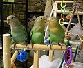 Agapornis -three pet lovebirds with parrot toys-8a.jpg