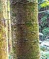 Agathis australis in Wellington Botanical Garden.jpg