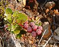Agauria buxifolia 1.jpg