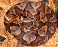 Agkistrodon contortrix mokasen CDC.png