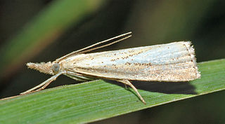 <i>Agriphila</i> Genus of moths