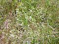Agrostis pourretii Habitus 2011-6-23 SierraMadrona.jpg
