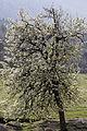 Ahlat - Pyrus elaeagrifolia 01.jpg