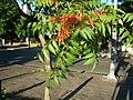 Ailanthus altissima detalle.JPG