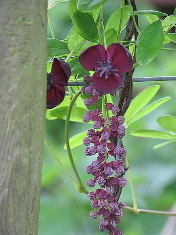 Akebia blooming