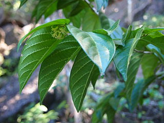 """<i>Alangium villosum <span style=""""font-style:normal;"""">subsp.</span> polyosmoides</i> Subspecies of tree"""