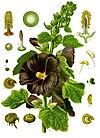 Alcea rosea - Köhler–s Medizinal-Pflanzen-009.jpg