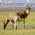 Alcelaphus buselaphus, Ngorongoro, Tanzania.jpg
