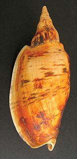 <i>Alcithoe</i> genus of molluscs