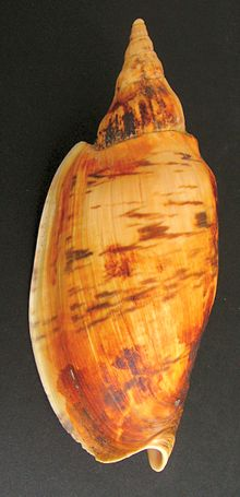 Alcithoe arabica (smooth form).JPG
