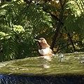 Allen's Hummingbird (31888135347).jpg