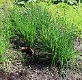 Allium schoenoprasum Prague 2014 1.jpg