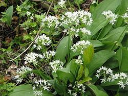 Allium ursinum04.jpg
