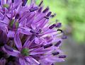 Allium violet (6246907791).jpg