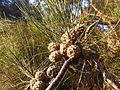 Allocasuarina fraseriana fruit.jpg