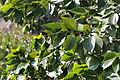 Alnus sieboldiana (22356391028).jpg