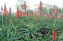 Aloe arborescens Rycroft  Wikipédia a enciclopédia livre
