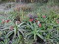 Aloe sp. Ribaue 6 (5974090923).jpg