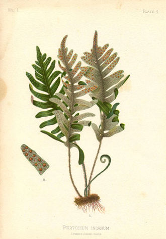 Thomas Meehan (botanist) - Polypodium incanumby Alois Lunzer from The Native Flowers and Ferns of the United States