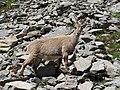 Alpine Ibex (Bouquetin) @ Path from L'Index to Col de la Gliere @ Hike to Lacs des Chéserys, Lac Blanc, Lac Cornu & Lacs Noirs @ Chamonix (15174935738).jpg