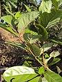 Alseodaphne semecarpifolia 31.JPG